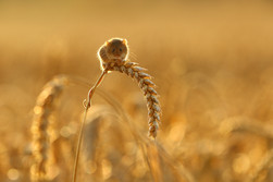 Backlit_Harvest_Mouse.jpg
