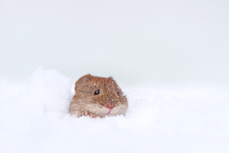 Snow Vole.jpg