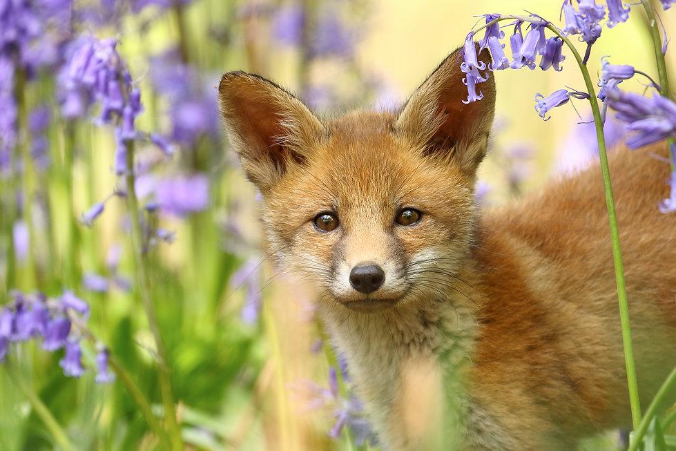 Fox_Cub.jpg