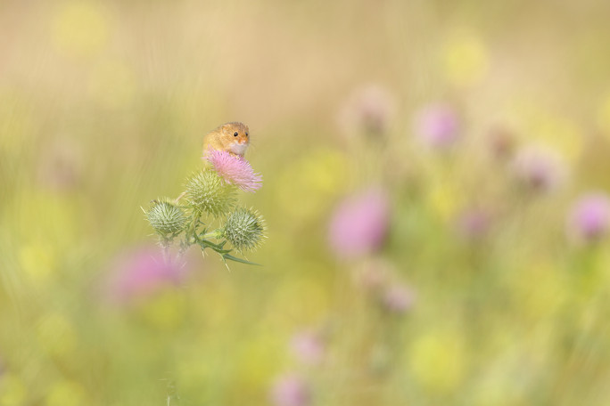 Harvest_Mouse_Thistle.jpg