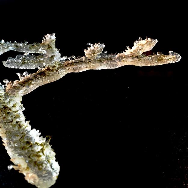 Frozen Thornbush
