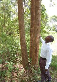 Eucalyptus farm
