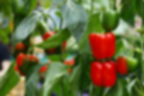 how-many-bell-peppers-per-plant.webp