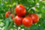 tomatoes_helios4eos_gettyimages-edit.jpe