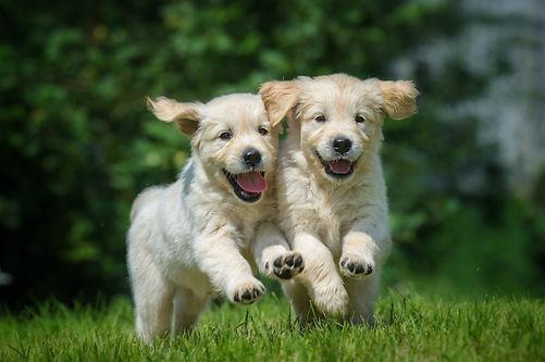 two happy running puppies of golden retr