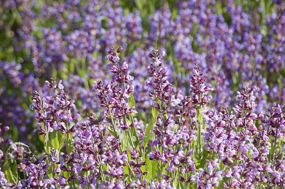 couleurs et fleurs...de sauge!
