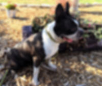 Boston Terriers in Texas