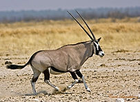 Gemsbuck-oryx-primal-african-safaris