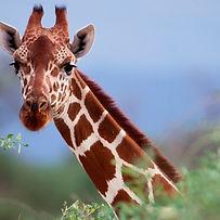 giraffe-primal-african-safaris