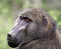 baboon-by-primal-african-safaris
