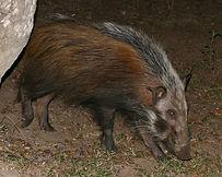 bushpig-primal-african-safaris
