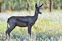 Black-springbuck-primal-african-safaris