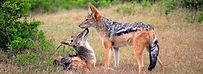 jackal-primal-african-safaris