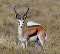 Springbuck-primal-african-safaris