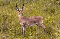 reedbuck-primal-african-safaris