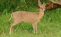 Common-Duiker-primal-african-safaris