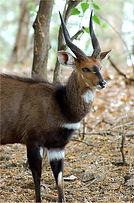 Bushbuck-primal-african-safaris