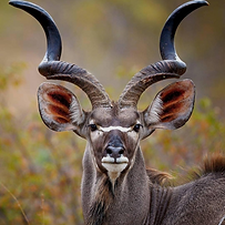 kudu-primal-african-safaris