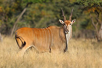 eland-livingston-primal-african-safaris