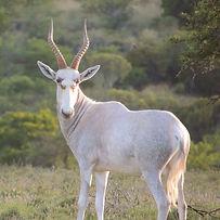 blesbok-white-primal-african-safaris
