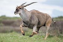 eland-primal-african-safaris