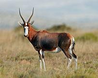 Blesbok-primal-african-safaris