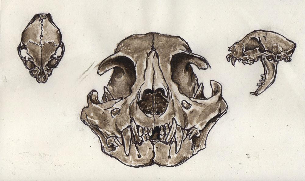 Cat skull study