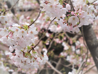 教室からの桜🌸