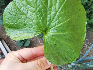Ein Blatt von Wasabi