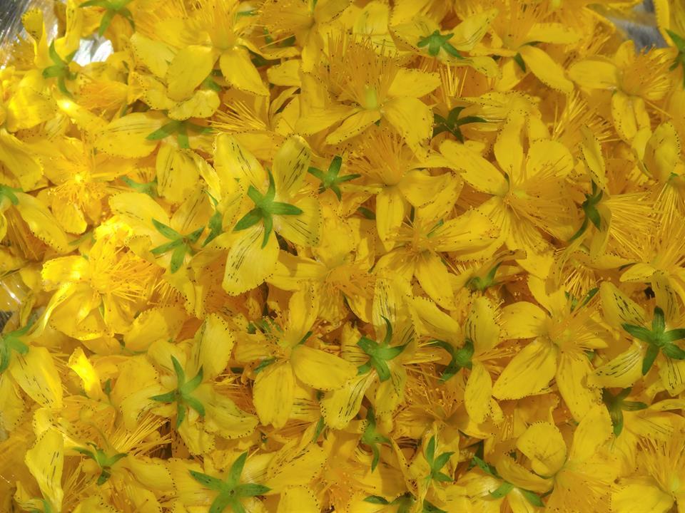 セントジョーンズのお花
