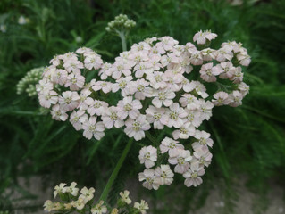 ヤロウ(Achillea millefolium)のお話