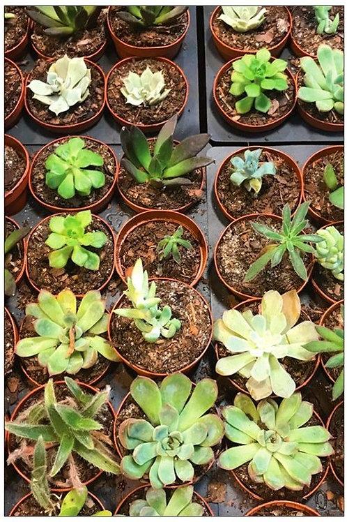 Succulents by Diana De Benedictis