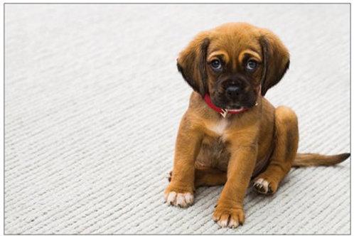 Sitting Puppy
