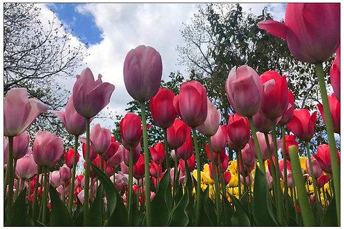 Spring Tulips by Diana De Benedictis
