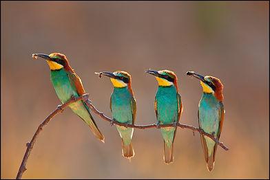 Четыре лазурные птицы с насекомыми в клювах на веточке