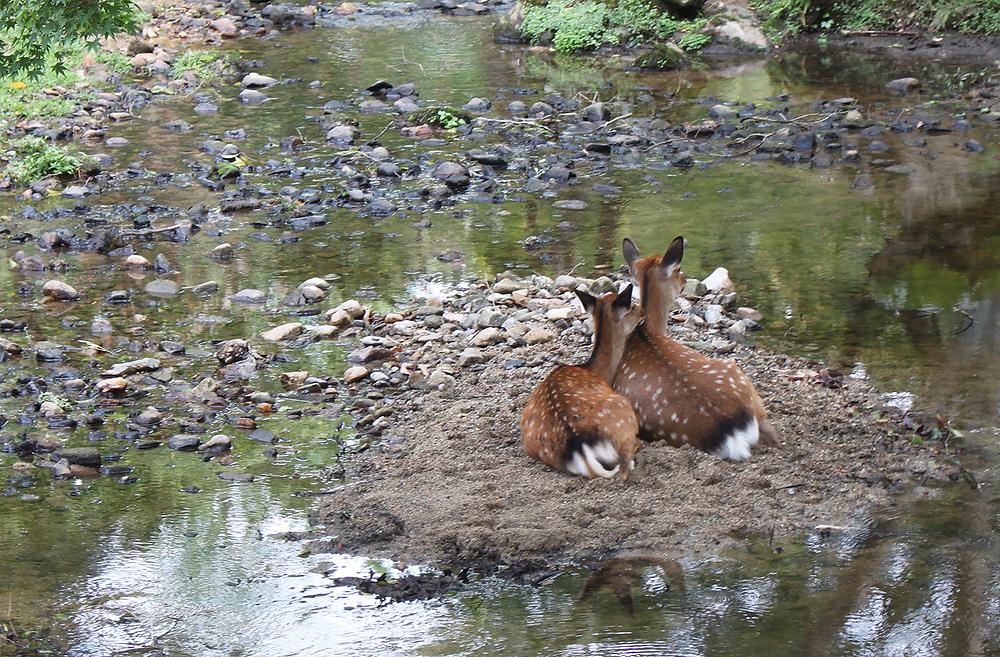 calin entre daims à Nara