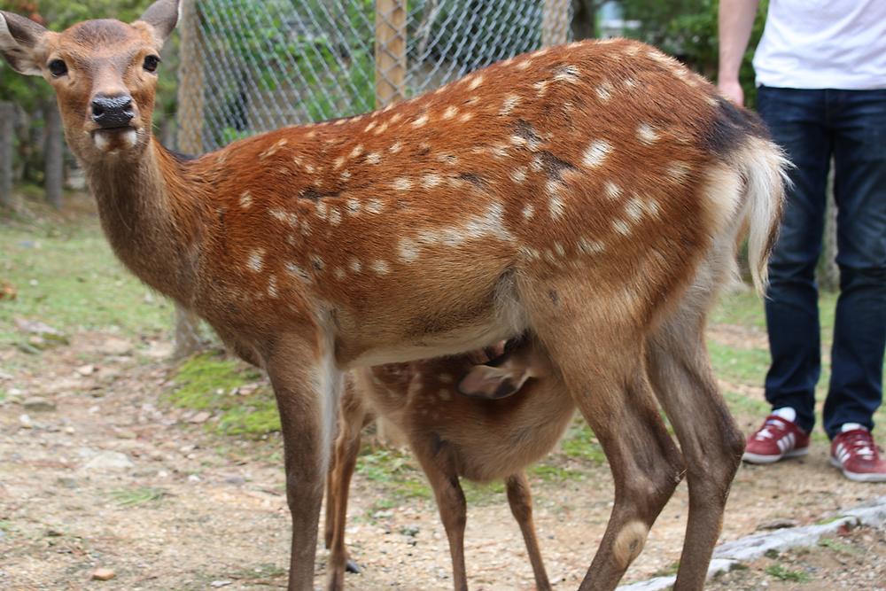 Bambi à Nara