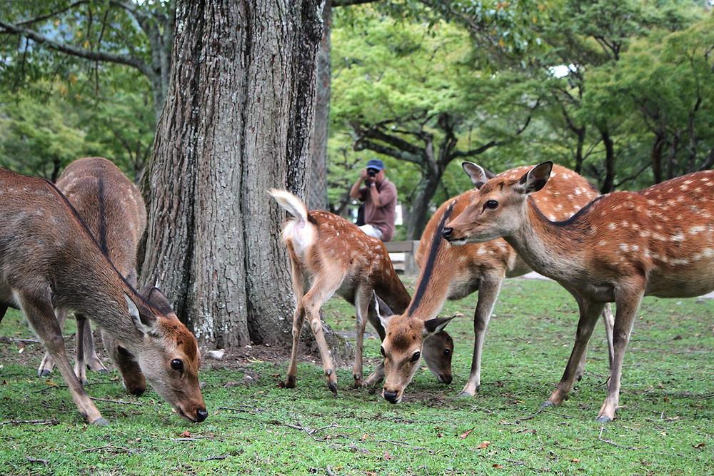 Nara et les biches