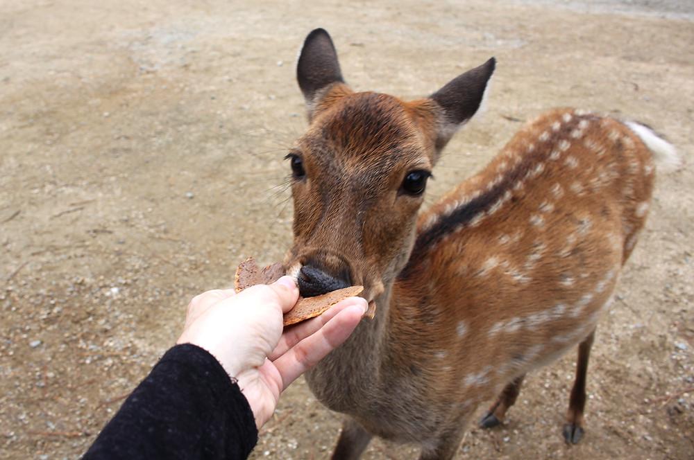 Nourrir les daims à Nara