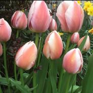 pale pink tulips.jpg