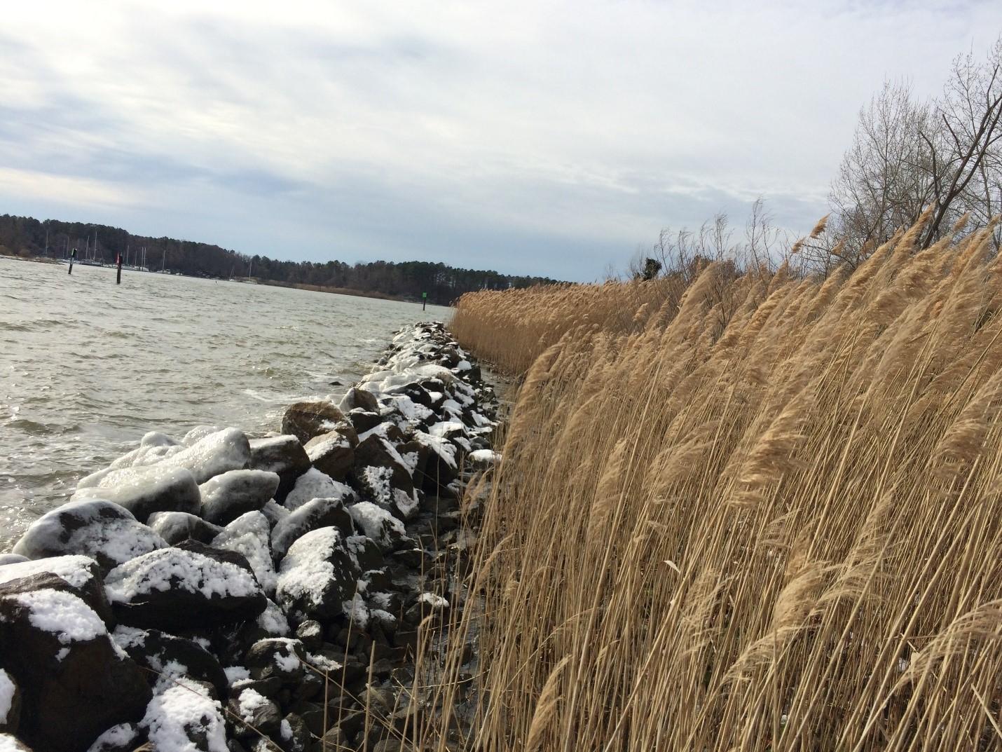 Phragmites along Mill Creek in Annapolis, MD