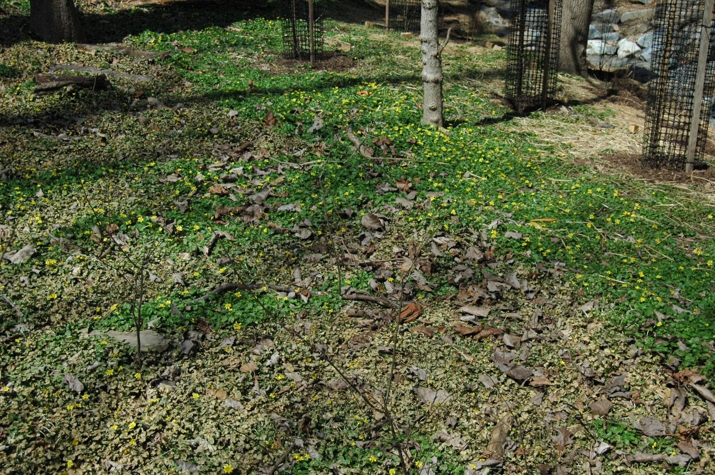Lesser Celandine in Chevy Chase, MD