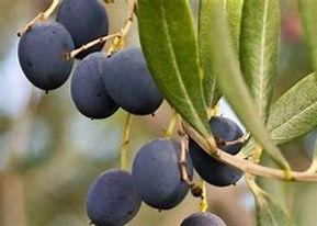 Olive_Blog_100719.jpg