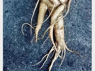 Mandrake Root: An Ancient Medicinal