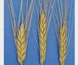 EMMER WHEAT: STAPLE IN THE EGYPTIAN DIET