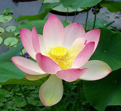 LotusBlossom_aka_WaterLlily_071519.jpg