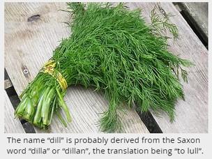 Dill as an Ancient Medicine