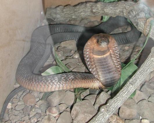 Cobra.jpg
