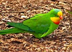 Superb Parrot at Coleambally