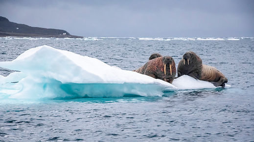 Under_Thin_Ice_Walruses_on_floating_ice_